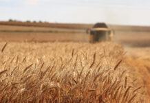 Skuteczne zapobieganie wyleganiu zbóż